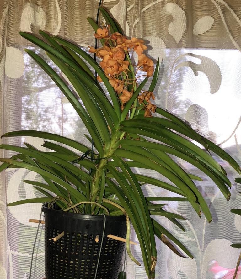 Orchideen-Neuzugang 2 - Seite 3 Vanda_56