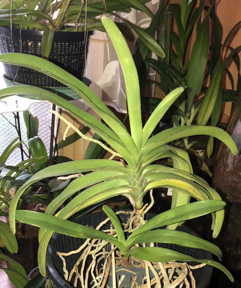 Orchideen-Neuzugang 2 - Seite 3 Vasco_10