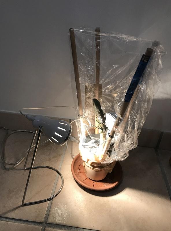 Ma récolte de bouture de frangipanier du mois d'Aout de Thailande... Img_0512
