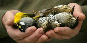 Le printemps revient mais les chants d'oiseaux se font de plus en plus rares. Oiseau10