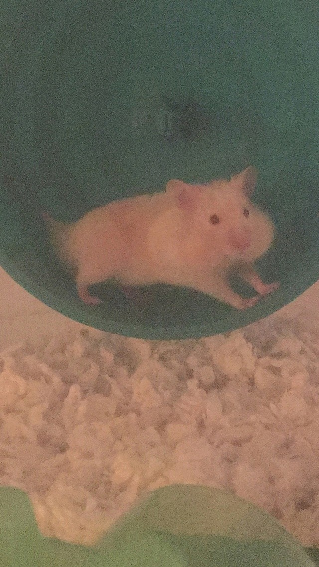 Obi the hamster Image16