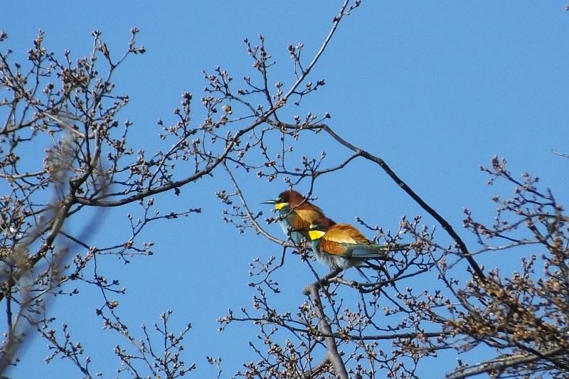 Abejaruco (Merops apiaster)  Abejar11
