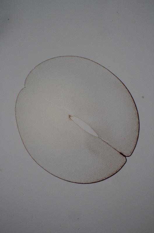 Desarrollo embrionario de la rana Embrio11
