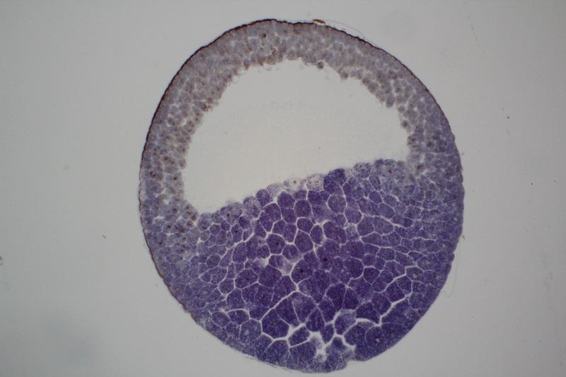 Desarrollo embrionario de la rana Embrio12