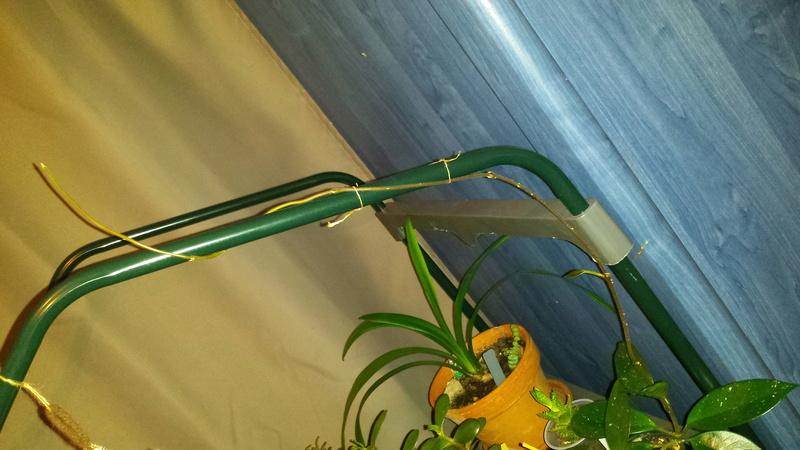 Mes deux Hoyas d'Andréa  :-) 15153510