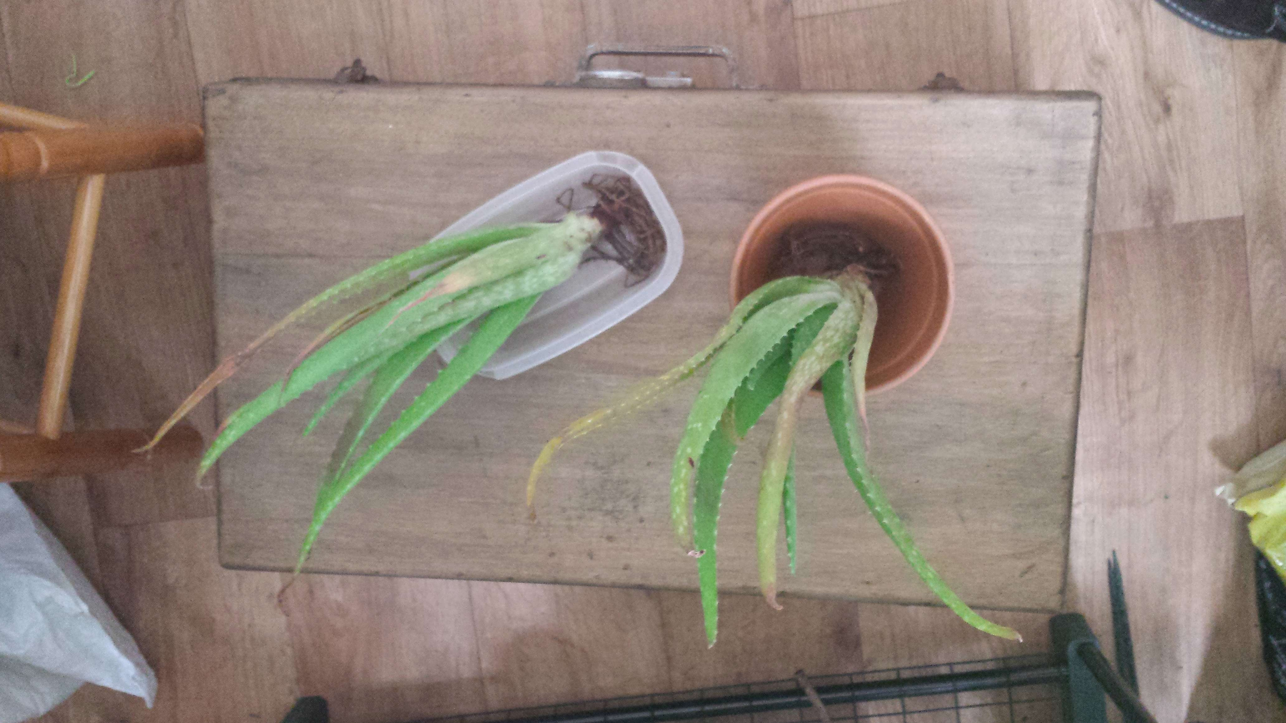 bouture d'aloe vera et de stapelia variegata 15276810
