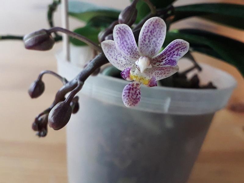 Phalaenopsis equestris x finleyi (Donna's Delight ) - Seite 2 20180611