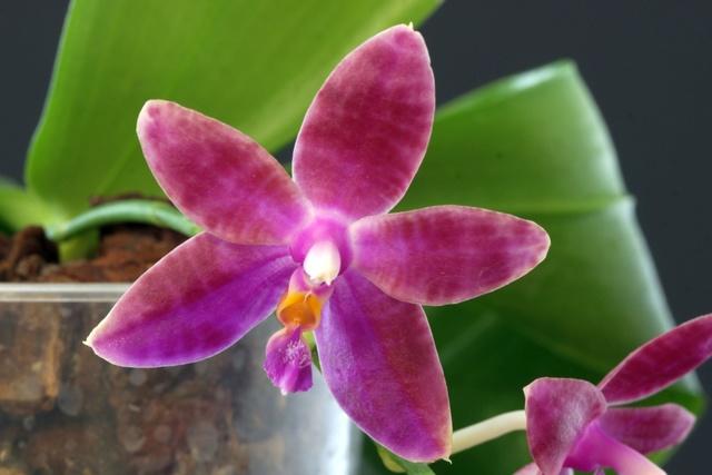 Phalaenopsis mariae x violacea (Violet Charm) C_viol10