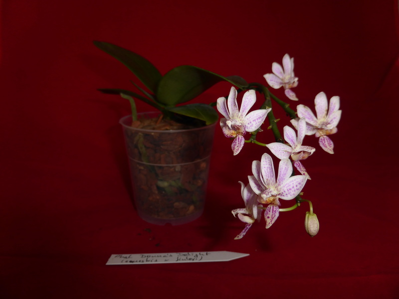 Phalaenopsis equestris x finleyi (Donna's Delight ) Donna_10