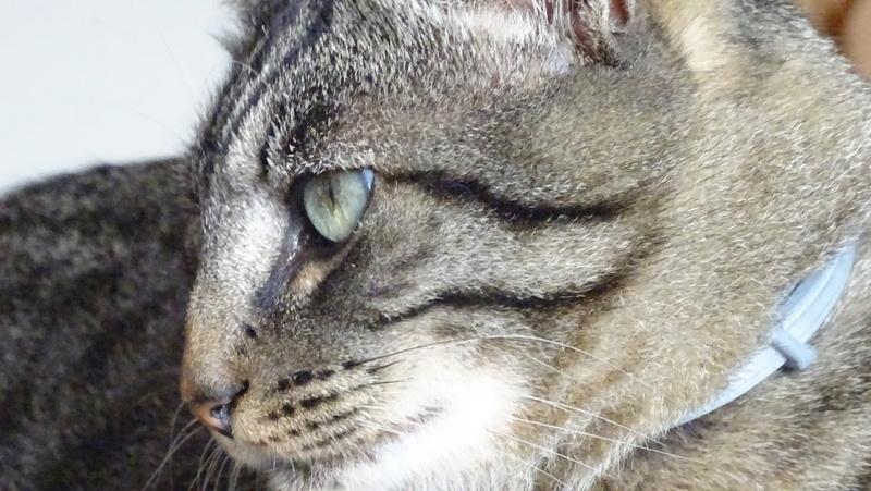 Patchat, mâle type européen tabby né le 1er mars 2016 Dsc02213