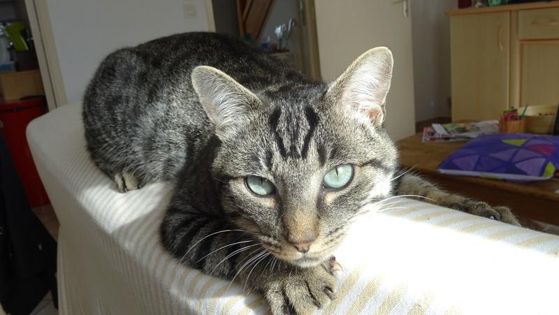 Patchat, mâle type européen tabby né le 1er mars 2016 Dsc02214
