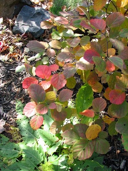 Vivaces au beau feuillage d'automne - Page 2 Img_2710