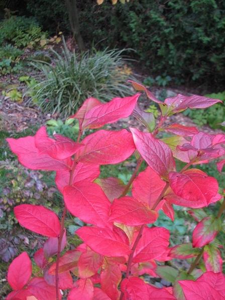 Vivaces au beau feuillage d'automne - Page 2 Img_2811