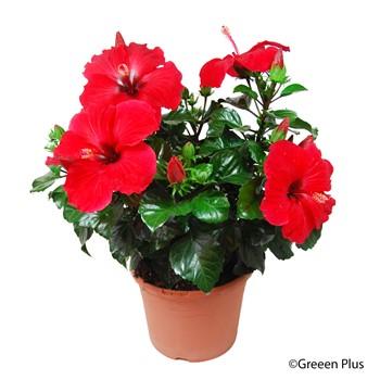 Hibiscus  rouge  46720211