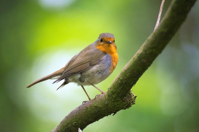 Pinson des arbres. Robin-10