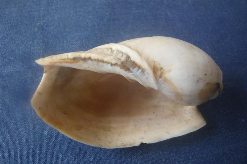 Cymbium pachyus (Pallary 1930) P1040527
