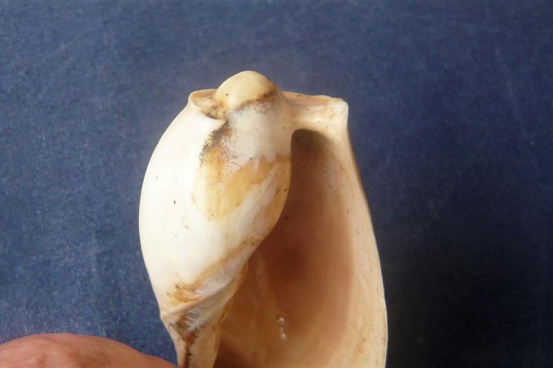 Cymbium pachyus (Pallary 1930) P1040529