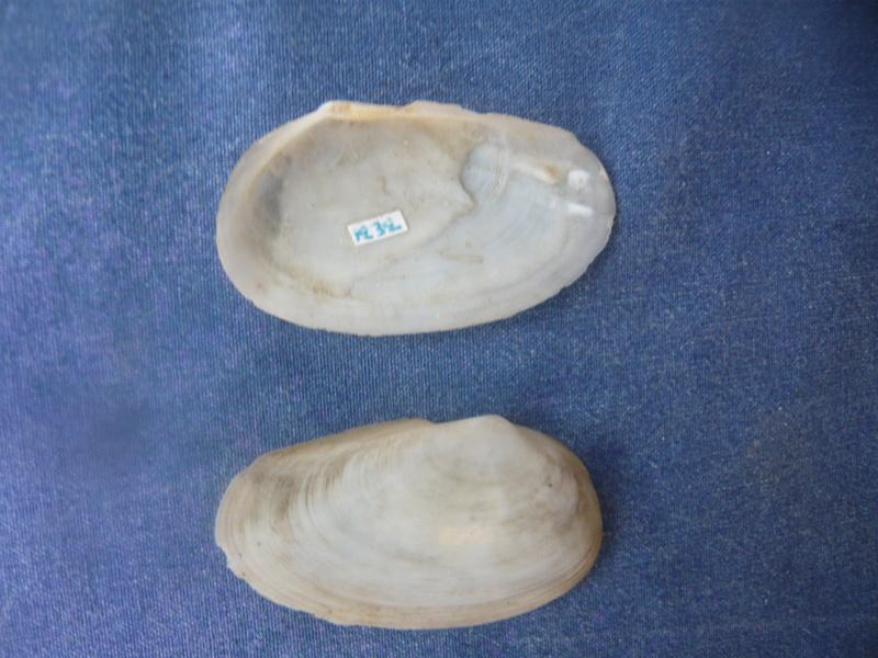 Omala hyalina - (Gmelin, 1791) P1040549