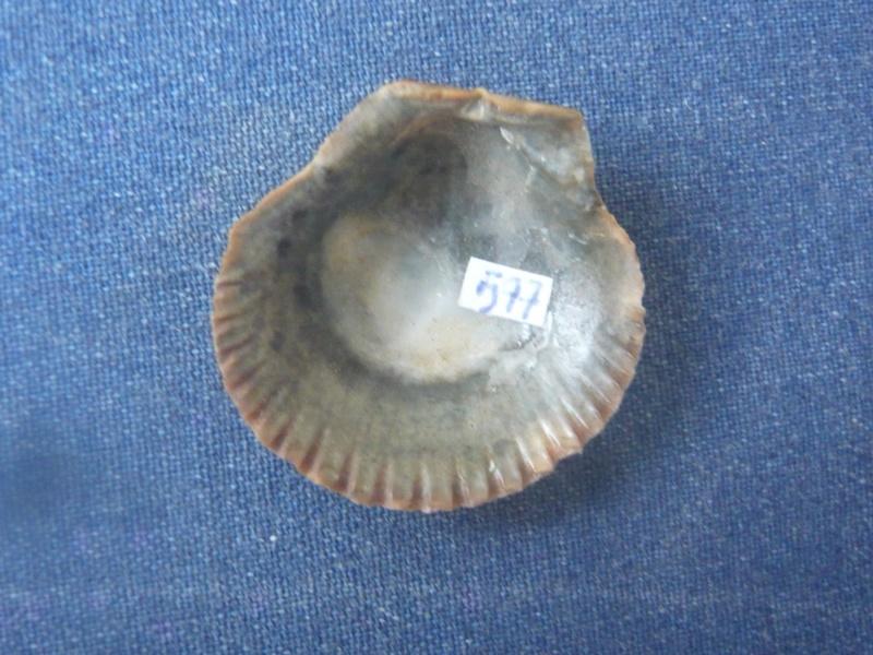 Aequipecten flabellum (Gmelin, 1791) P1040562