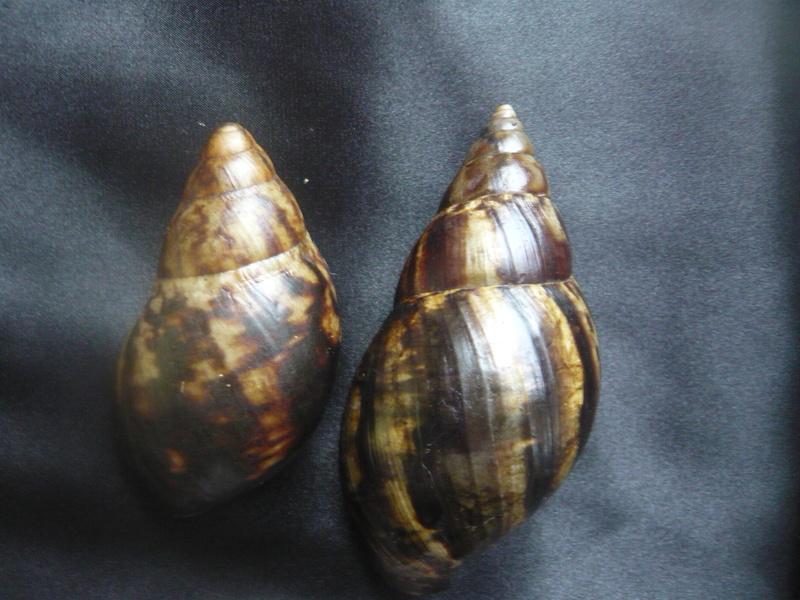 Archachatina marginata (Swainson, 1821) & Lissachatina fulica (Férussac, 1821) P1040912