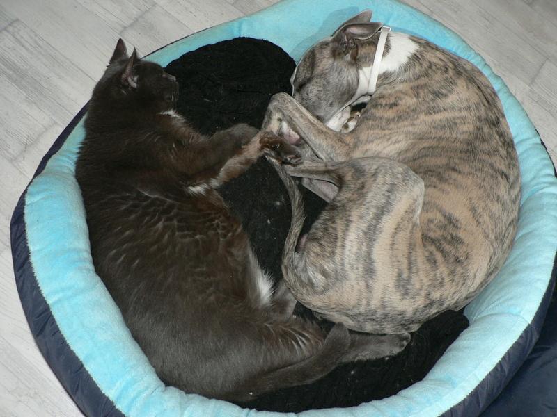 chat... et lévrier P1320710