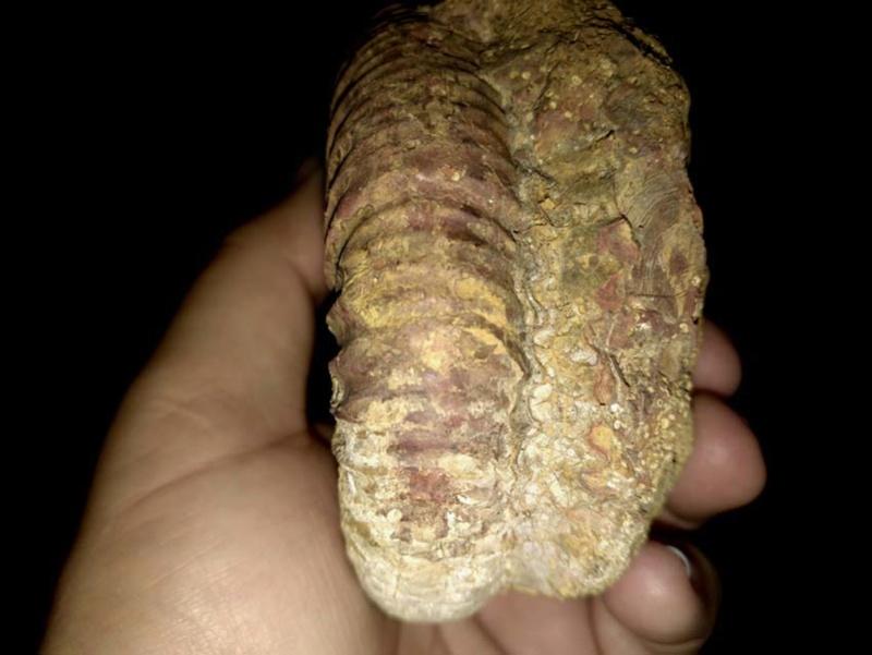 Ammonite Calloviense 0210