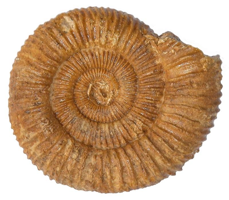 Ammonite Calloviense Dactyl10