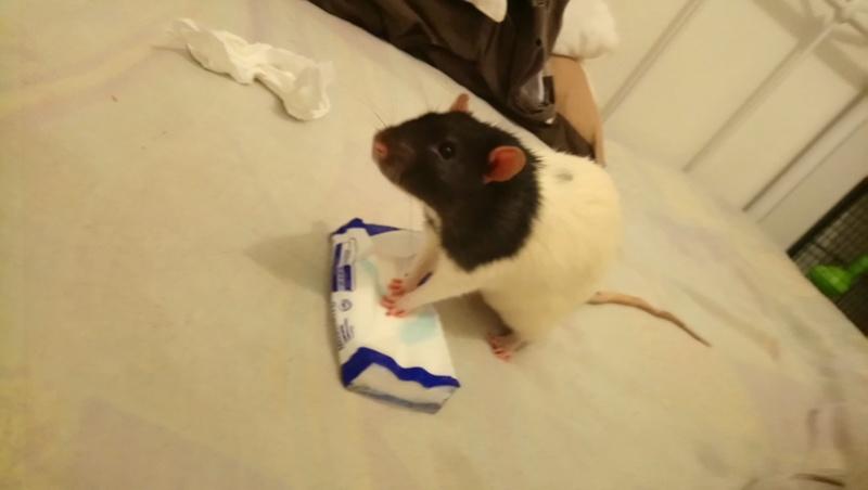 Snow, mon petit (gros) rat de laboratoire 💕 Dsc_0014