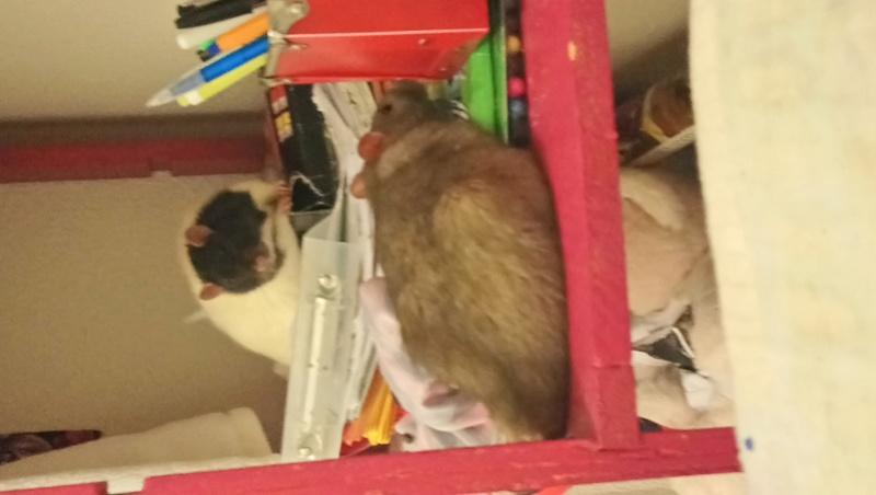 Snow, mon petit (gros) rat de laboratoire 💕 Dsc_0015