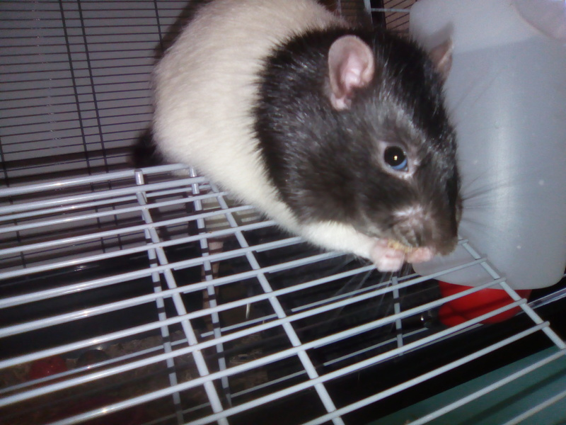 Snow, mon petit (gros) rat de laboratoire 💕 Img_2014