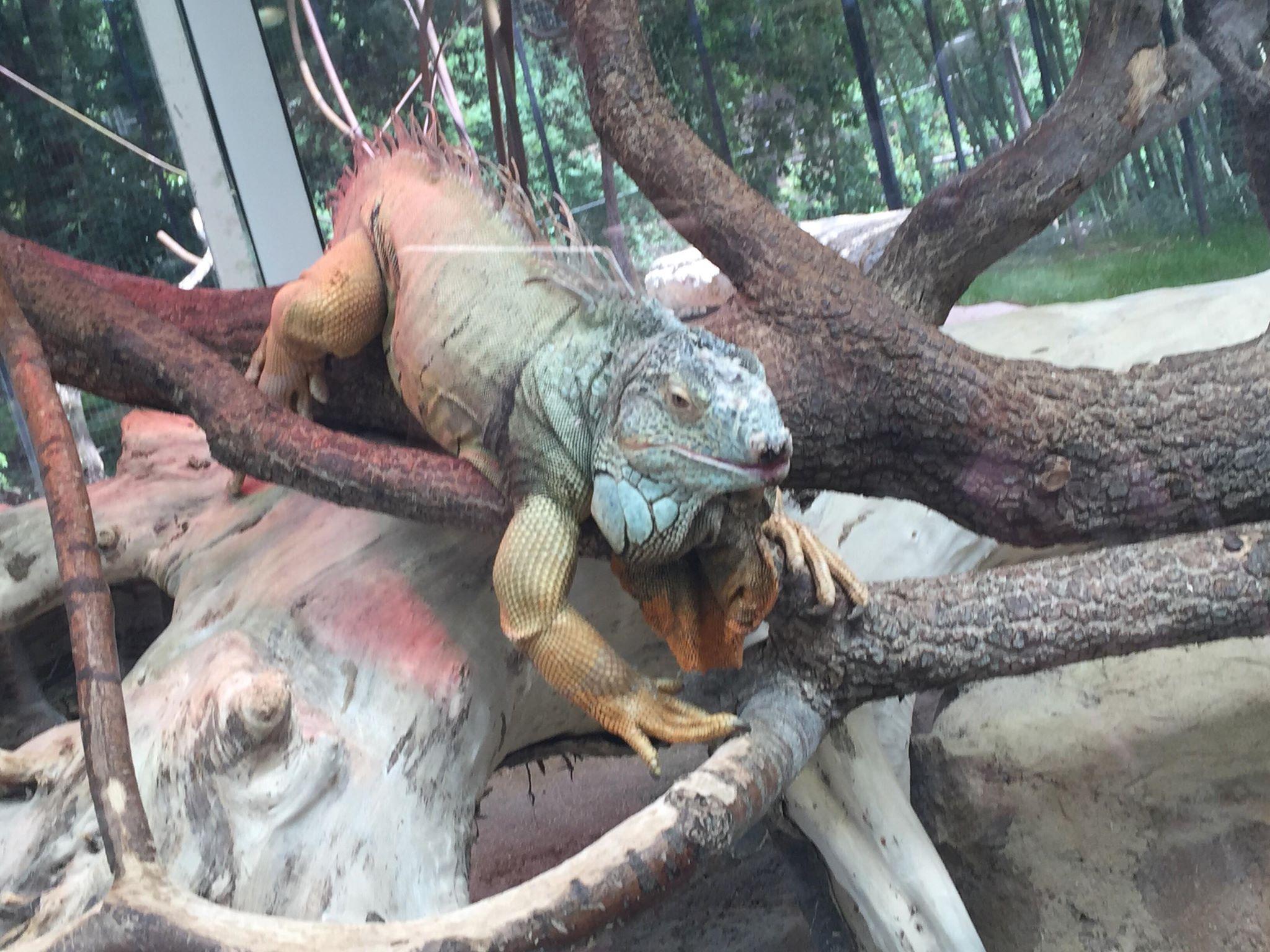 Iguane du zoo palmyre :( 34408910