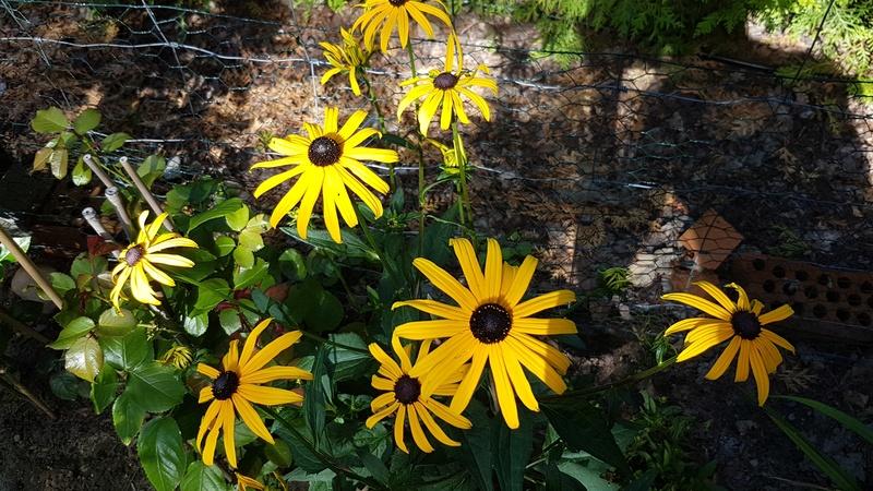 Sonnenblumen(artige) - Heliantheae - Seite 4 20170722