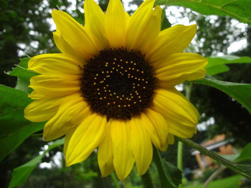 Sonnenblumen(artige) - Heliantheae - Seite 4 Dsc05817