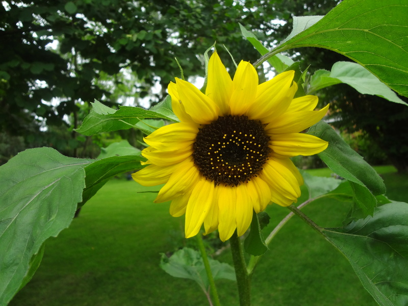 Sonnenblumen(artige) - Heliantheae - Seite 4 Dsc05818