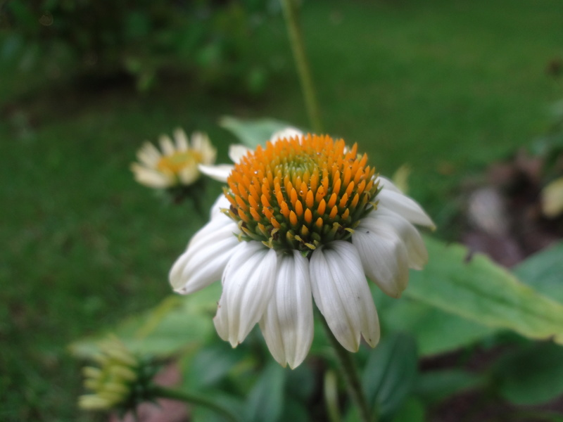 Sonnenblumen(artige) - Heliantheae - Seite 4 Dsc06114