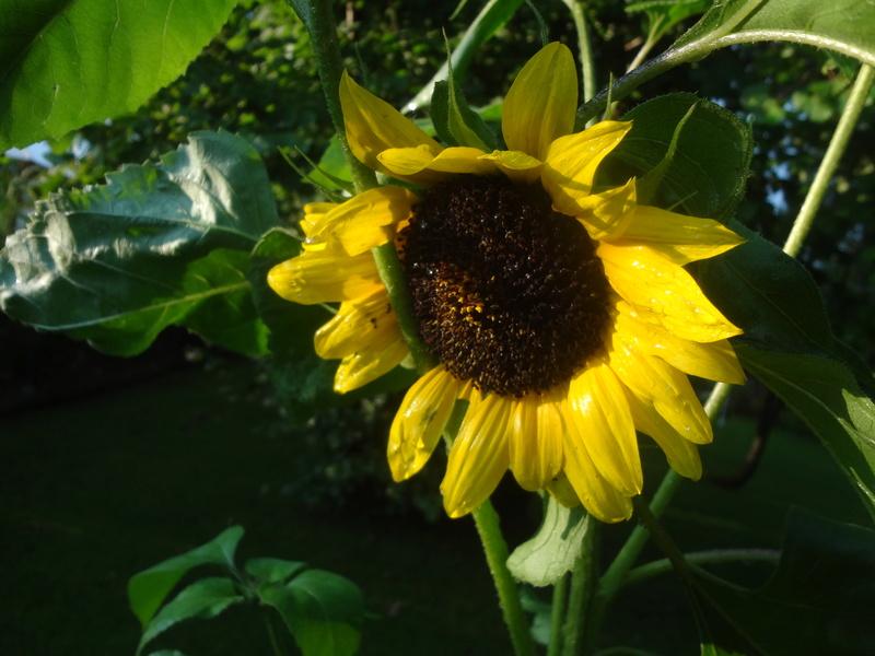 Sonnenblumen(artige) - Heliantheae - Seite 4 Dsc06115