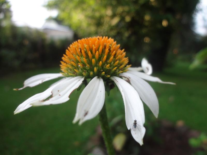 Sonnenblumen(artige) - Heliantheae - Seite 4 Dsc06118