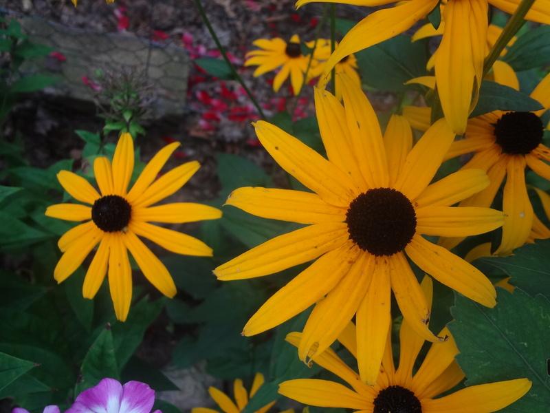 Sonnenblumen(artige) - Heliantheae - Seite 4 Dsc06819