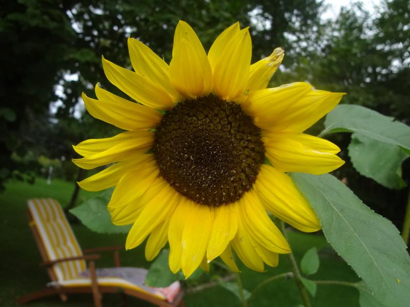 Sonnenblumen(artige) - Heliantheae - Seite 4 Dsc06927