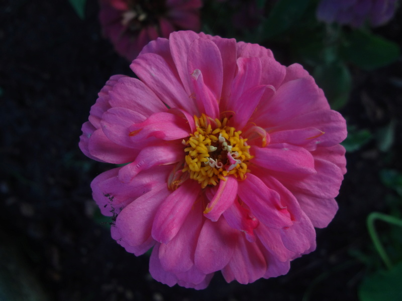 Sonnenblumen(artige) - Heliantheae - Seite 4 Dsc07021