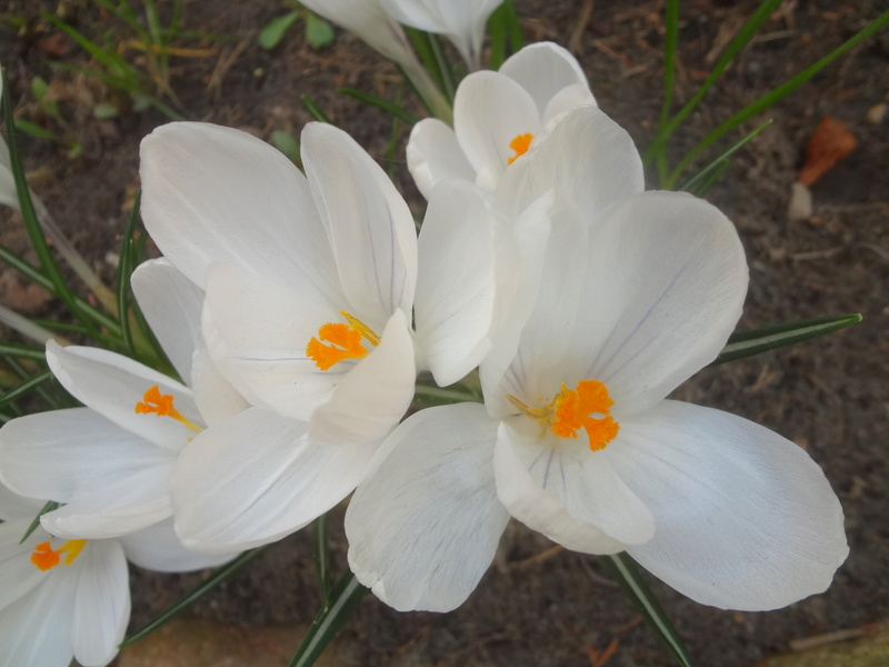 Erste Frühlingsboten im Garten und in Wald und Flur - Seite 65 Dsc07943