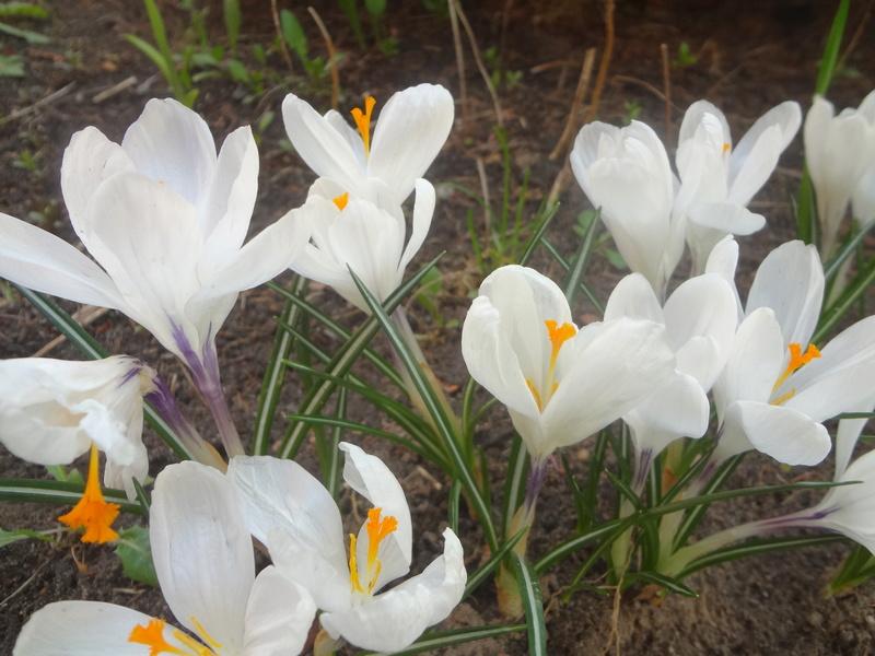 Erste Frühlingsboten im Garten und in Wald und Flur - Seite 65 Dsc07945