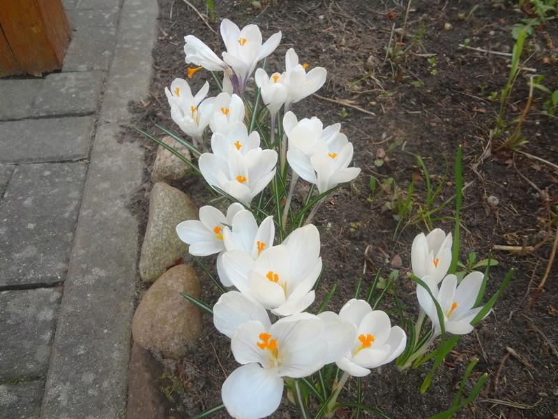 Erste Frühlingsboten im Garten und in Wald und Flur - Seite 65 Dsc07948