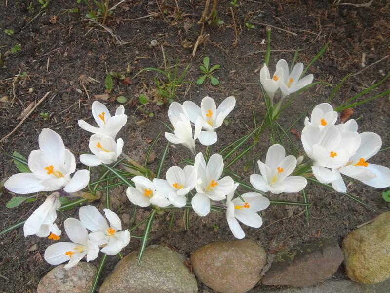 Erste Frühlingsboten im Garten und in Wald und Flur - Seite 65 Dsc07949