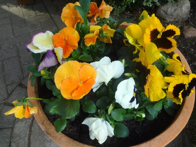 Erste Frühlingsboten im Garten und in Wald und Flur - Seite 65 Dsc07950