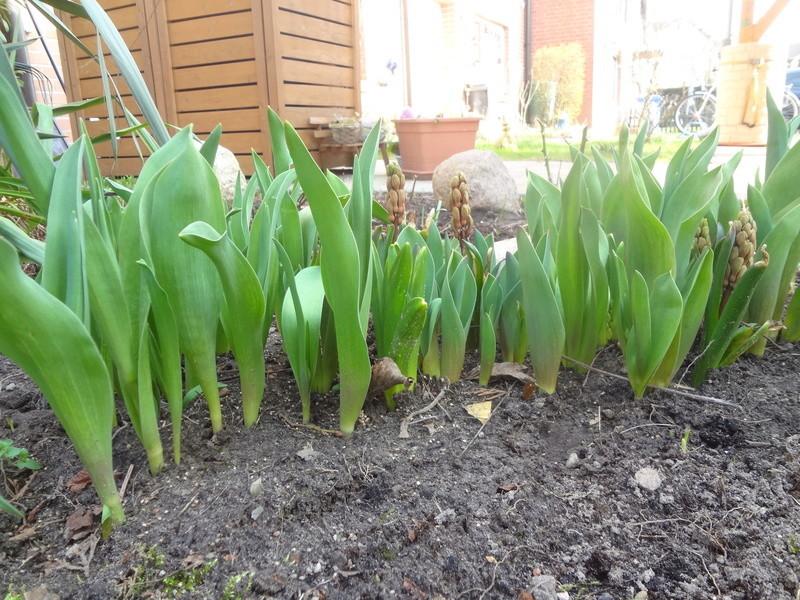 Erste Frühlingsboten im Garten und in Wald und Flur - Seite 65 Dsc07952