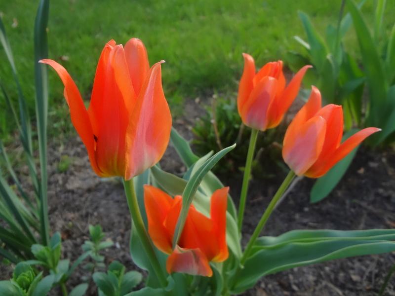 Lilien(artige) -  natürlich Lilien, aber auch Inkalilien, Zeitlose, Germer und Stechwinden - Seite 12 Dsc08010
