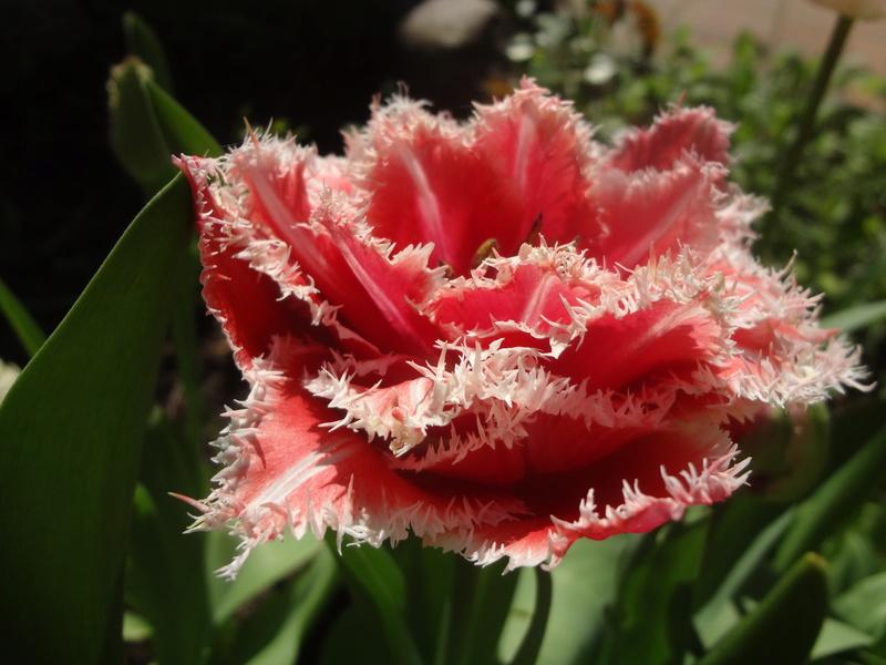 Erste Frühlingsboten im Garten und in Wald und Flur - Seite 65 Dsc08115