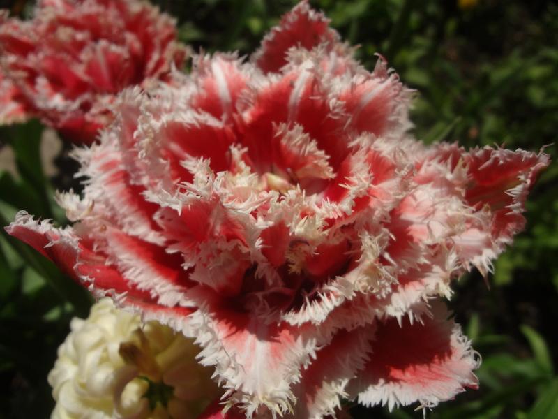 Erste Frühlingsboten im Garten und in Wald und Flur - Seite 65 Dsc08118
