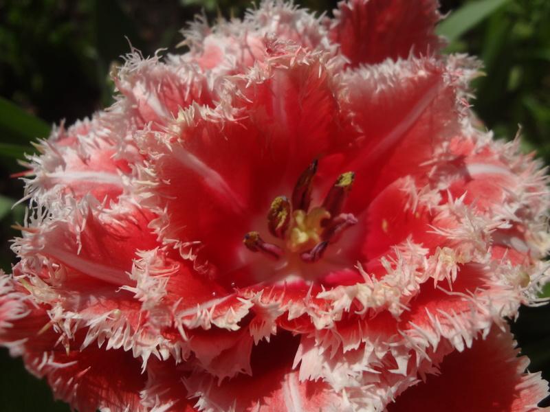 Lilien(artige) -  natürlich Lilien, aber auch Inkalilien, Zeitlose, Germer und Stechwinden - Seite 12 Dsc08132
